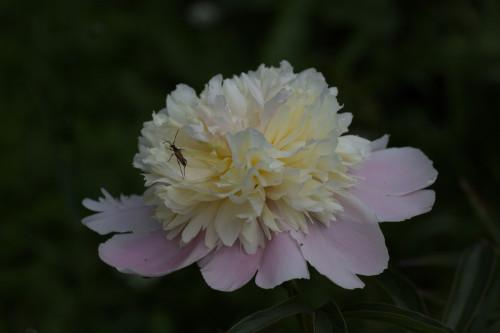 желто розовый1