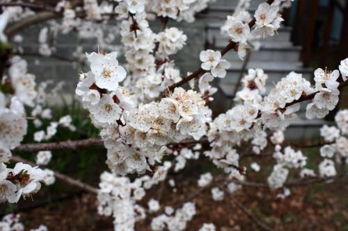 Prunus_armeniaca_19_02cc433c80a715e31d.jpg
