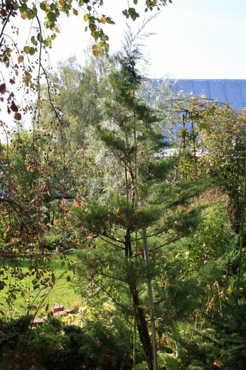 19-juniperus-virginica-grey-.-464c5b96af67395ba.jpg