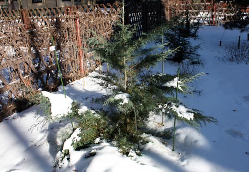 Juniperus_media_Hetz_20_02adcb5d23d1a814c3.jpg
