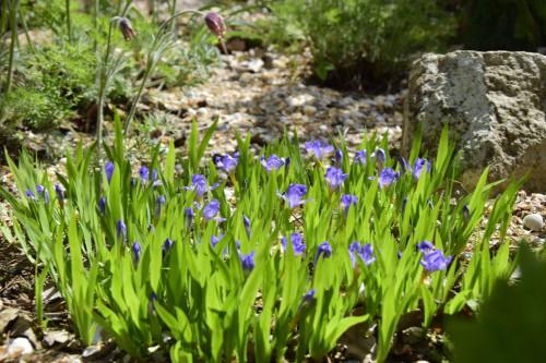 iris-lacustrisfe88b8b0d036a545.jpg